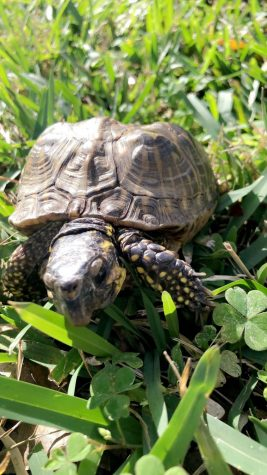 This is an image of Gigi the Florida Box Turtle. Gigi was a surrendered pet which is how he ended up at Sandoway. Gigi loves to go on walks in the park and eat lots of fruits.